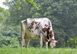 Huntje Holstein Anemoon 66
