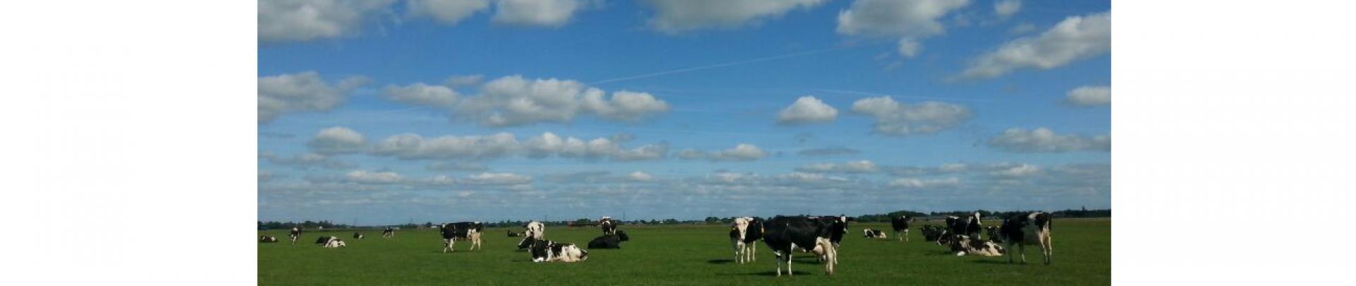 koeien voor de keuring